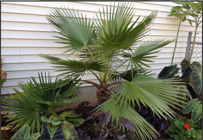 Mexican Fan Palm Tree